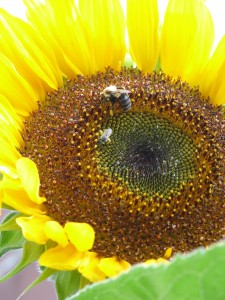 Sunflower 073